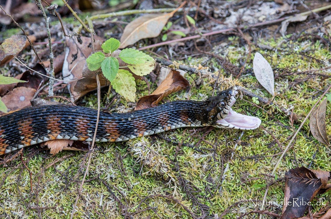 slanger i florida
